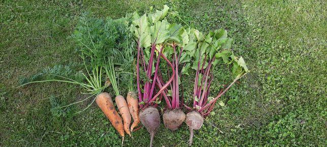 Buraczki ćwikłowe, Marchewka-warzywa ekologiczne