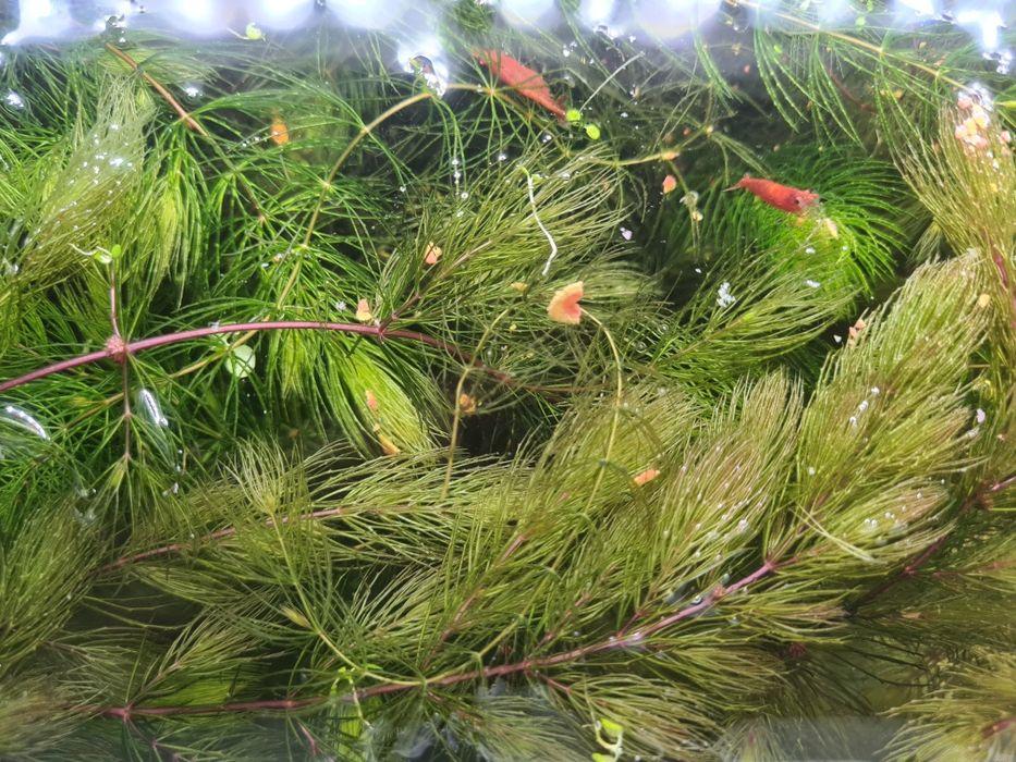 Rogatek sztywny roślina do akwarium Przemyśl - image 1