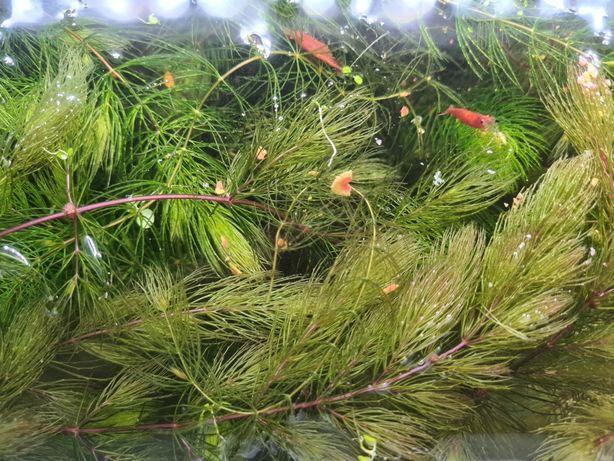 Rogatek sztywny roślina do akwarium