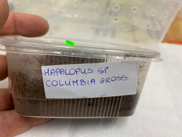 Hapalopus. sp Columbia gross