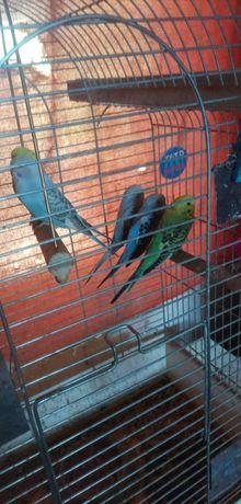 Papugi faliste 2021