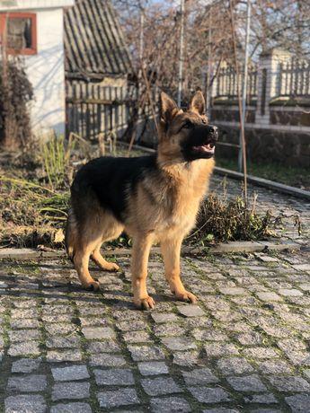 Продам щенка Немецкой овчарки     ( 5 месяцев )