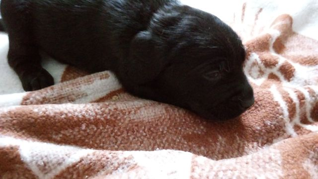 Pieski LABRADORY szczeniaki biszkopty i czarne