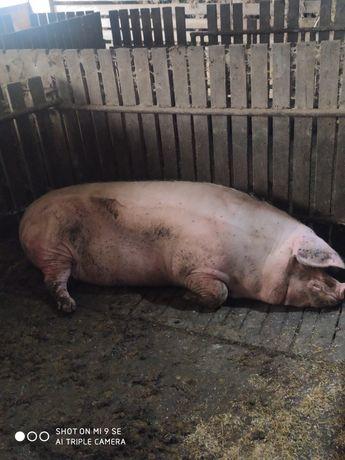 Maciory Lochy ekologiczne na mięsa 300kg