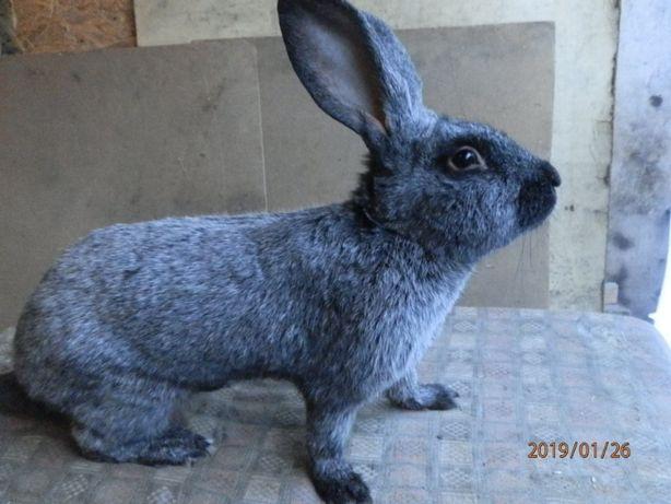 Продам кролики породи Полтавське срібло
