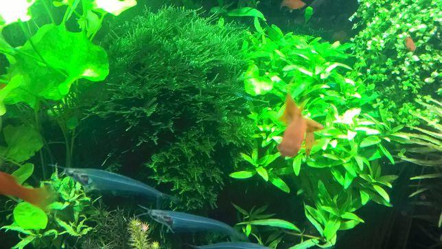 Staurogyne Repens-trawnik w akwarium