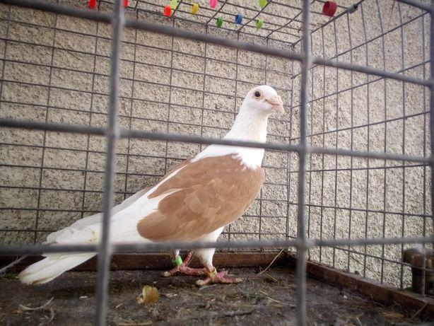 Gołębie Samiec Śląski Tarczowy Żółty Wysyłka