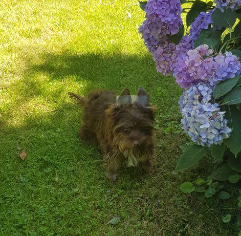 Choco yorkshire terrier z rodowodem SWKIPR