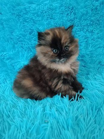Котенок персибский перс девочка