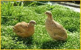 Инкубационные перепелиные яйца Феникса
