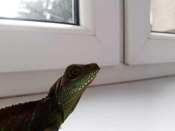 Jaszczurka zielona, Agama