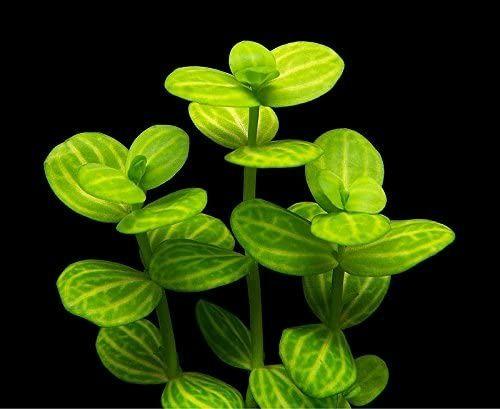 Lidernia Rotundifolia Variegated
