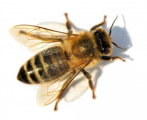 Продам пчел матка Карника , ульи Срочно
