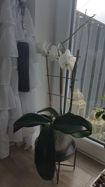 Storczyki, orchidey żywe kwiaty wielopędowe b. Wysoki ok. 80 cm
