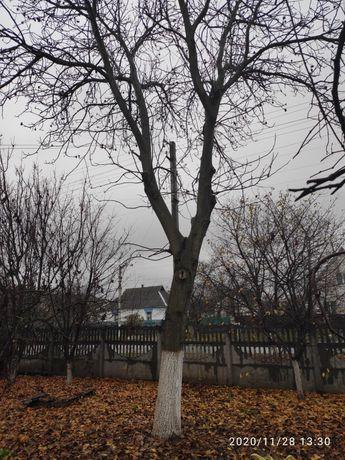 Продам дерево горіх (орех, оріх), під розпил. Ціна договірна
