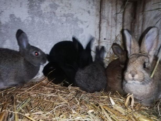 Sprzedam młode królki