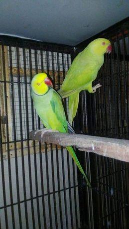 Продажа ожереловых попугаев