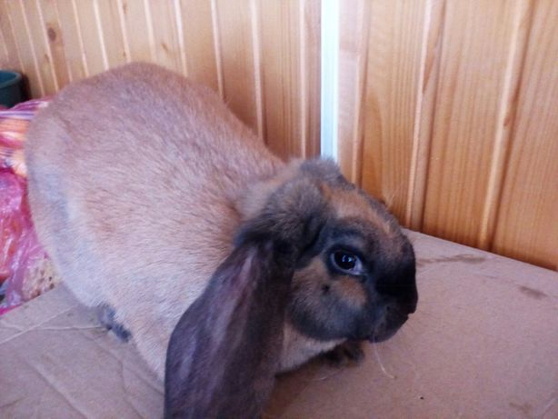Продам кроля самця