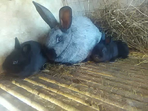 Продам Крілі(кролики) Різні породи