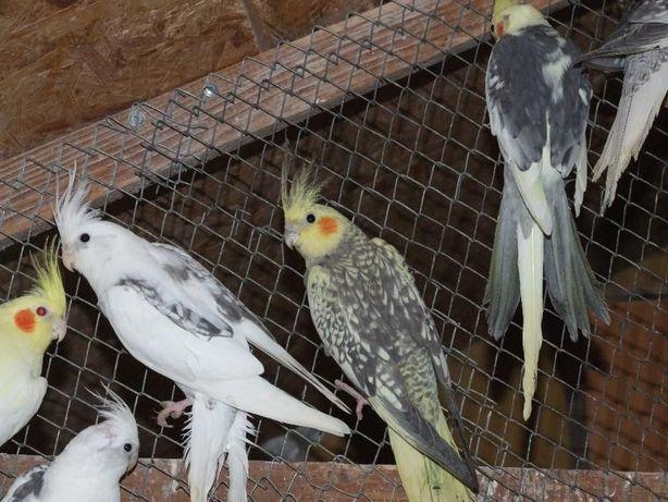 Papugi które nie wymagają rejestracji w urzędzie/Nimfy/Faliste klatki