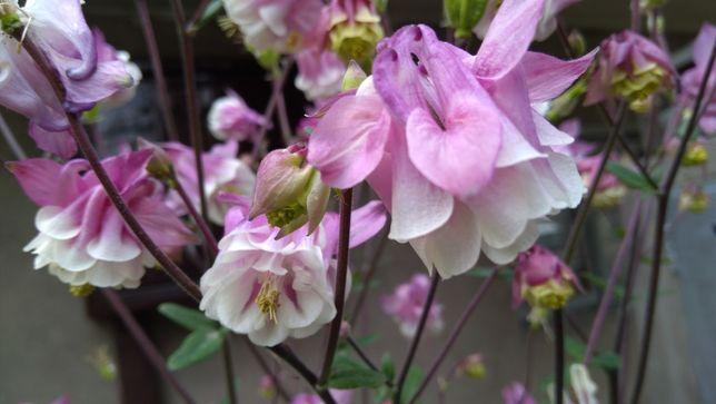 Orlik - nasiona - bylina wieloletnia, kolor jasno różowy, zimująca