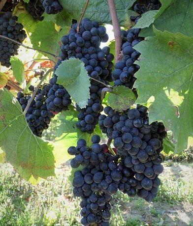 Winogrono fioletowe