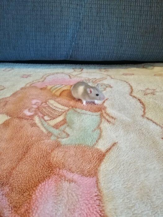 Szczurki domowe Zwoleń - image 1