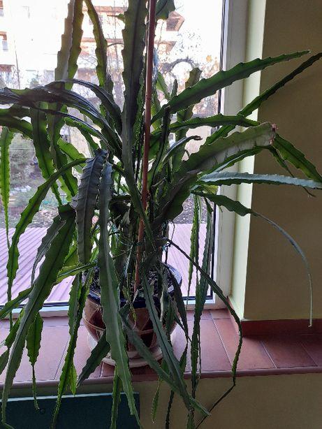 Duży kaktus w donicy