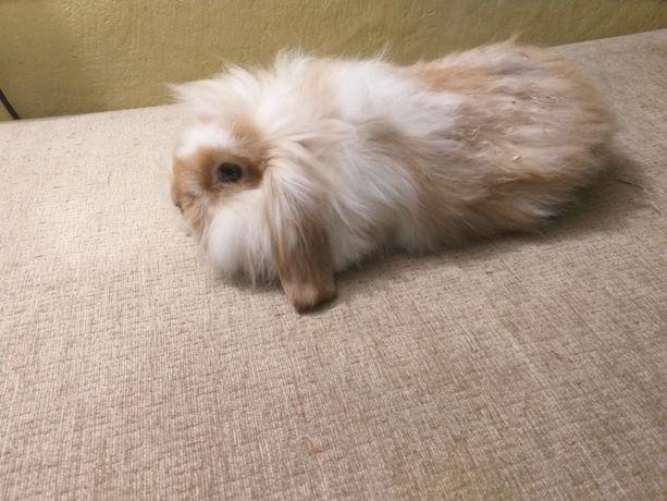 Króliki królik baranek miniaturka