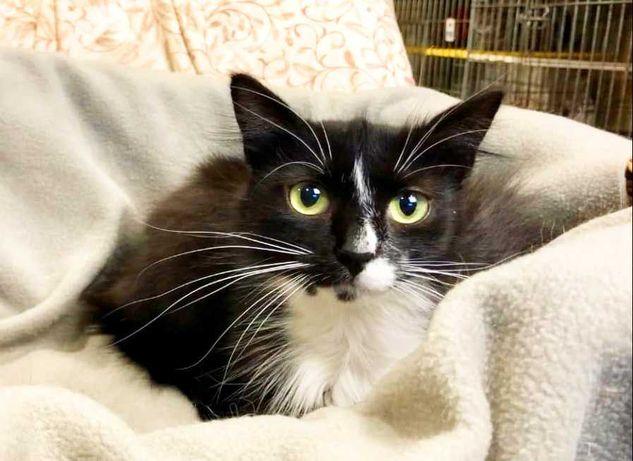 Мініатюрна чорна з білим кішка, кішечка Еріка, 1 рік, хоче додому!!!