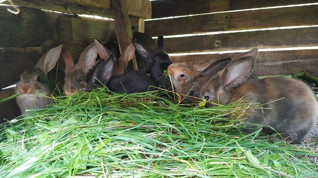 Młode króliki i stara Samica