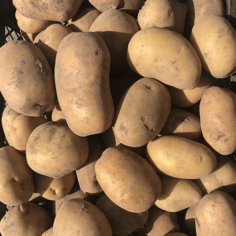 Картопля домашня велика
