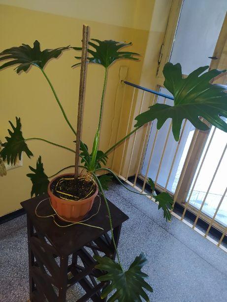 Monastera Philodendron Shangri La 'Filodendron'