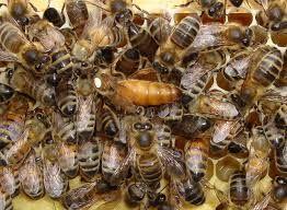 Бджоломатки. Бакфаст F1