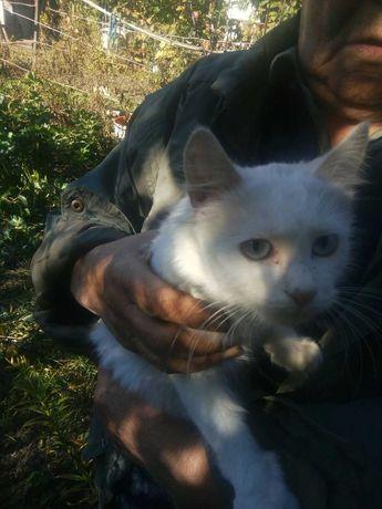 Голубоглазая Мальвина , котёнок в хорошие руки