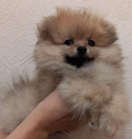 Милые щенки померанца