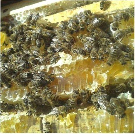 Плідні. Матка-Бджоломатка Карпатка Порода Карпатка Продаж.