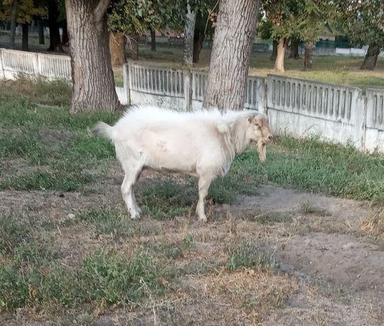 Козел, кози, козлята ламанча