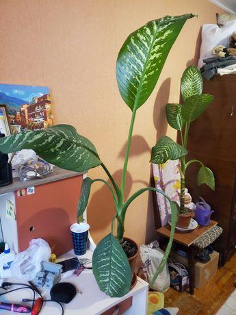 Дифинбахия цветок домашний растение