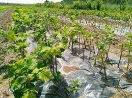 Саженцы (вегетативые отводки)фундука