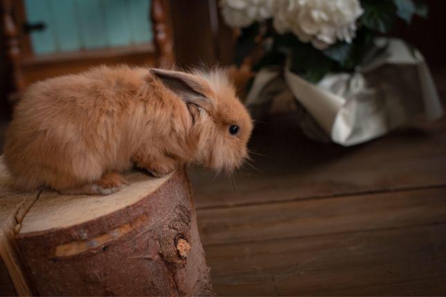 Декоративний кролик. Міні Лоп, NHD