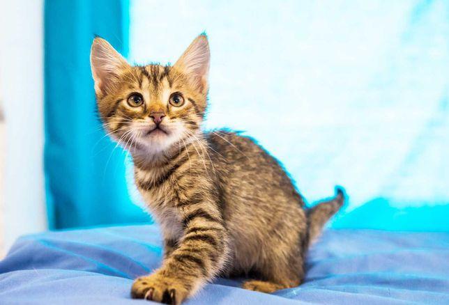 Ищет семью маленький полосатый котенок, кошка Флокса, 1,5 мес