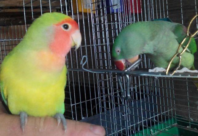 Волнистые неразлучники попугаи