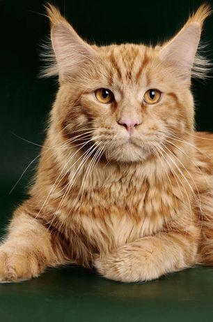 Титулованный котик породы Мейн -Кун приглашает кошечек на вязку!
