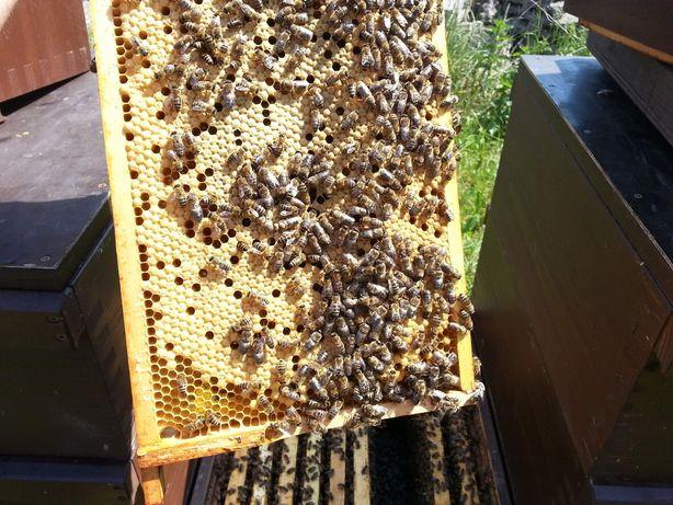 Rodziny pszczele, odklady, produkty pszczele, miód