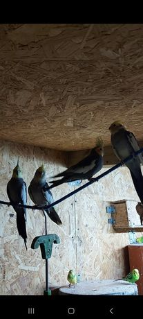 Papugi  nimfy ifaliste