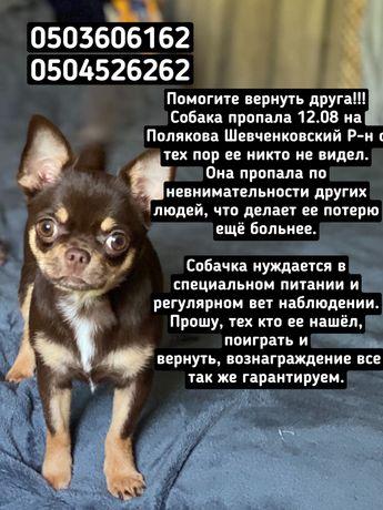 Ищу Собаку Чихуахуа, пропала собака