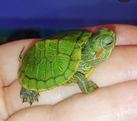 Черепаха американская маленькая. Доставка по Украине