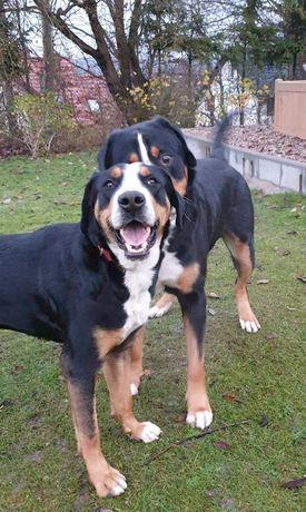 Zapowiedż miotu Duży szwajcarski pies pasterski