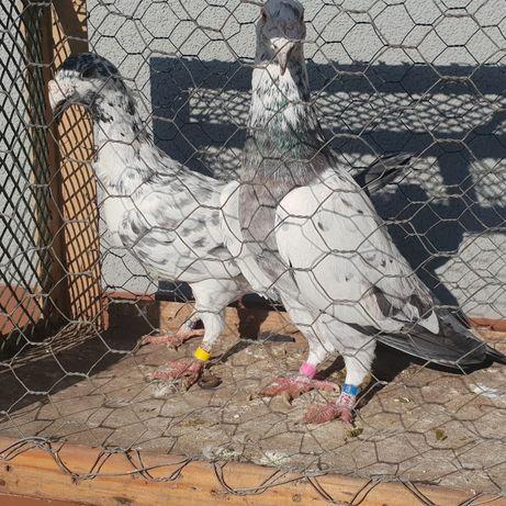 Gołębie rzeszowskie
